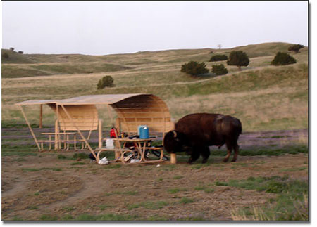 Buffalo scratching in campground